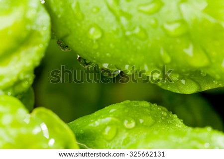 Close-up of basil leaves with water drops.