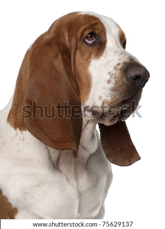Close-up of Basset Hound, 2 years old, in front of white background - stock photo