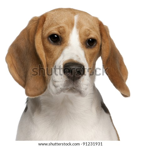 Close-up of Beagle puppy, 6 months old, in front of white background - stock photo