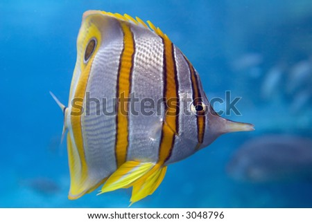 Close-up of Beaked Coralfish (Chelmon rostratus) swimming over coral reef. - stock photo