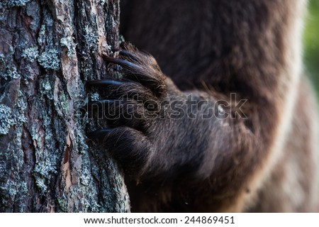 Close up of bear claws - stock photo
