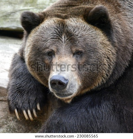 close-up of bear, soft focus - stock photo