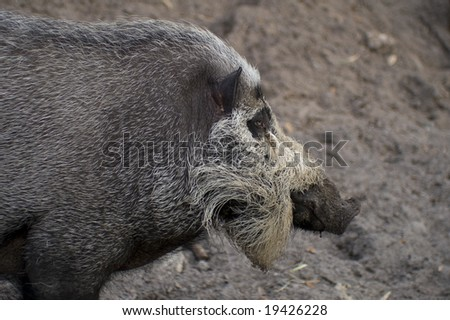 Close up of Bearded Pig (Sus barbatus)