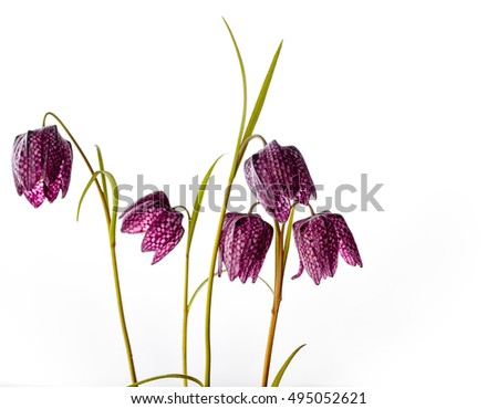 Close up of Beautifil Purple Fritillaria meleagris flowers on White Background