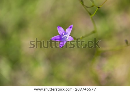 Close up of beautiful blooming bluebell flowers. Natural blue wild flower - stock photo