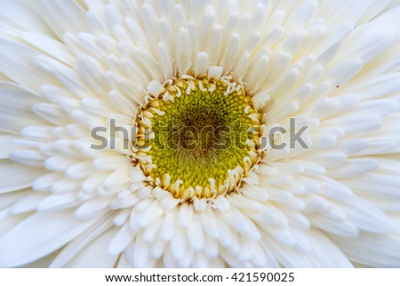 Close-up of beautiful blooming white gerbera daisy flower - stock photo