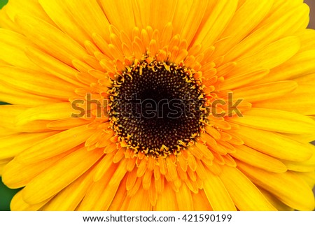 Close-up of beautiful blooming yellow gerbera daisy flower - stock photo