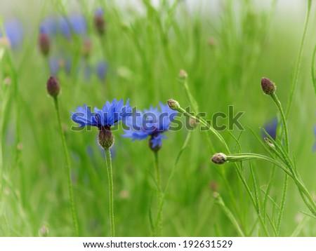 Close up of beautiful blue flower - stock photo