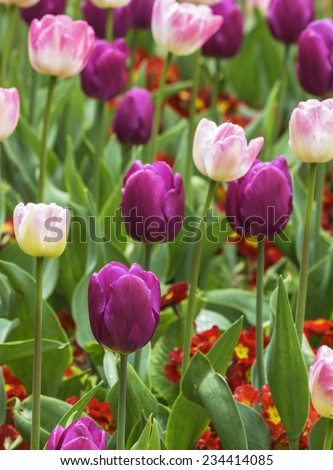 Close up of beautiful colourful spring tulips - stock photo