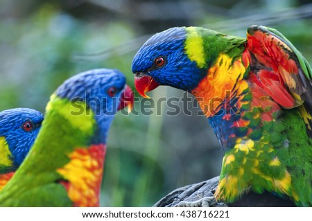 Close up of beautiful couple Rainbow Lorikeet parrots in nature sitting on branch. Trichoglossus haematodus parrot.