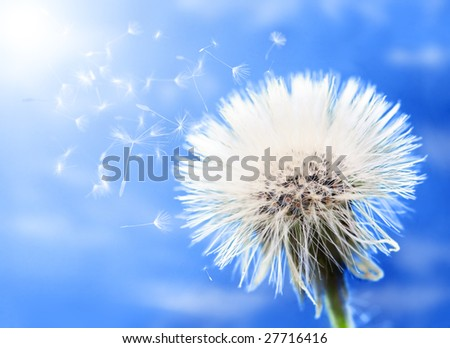 Close-up of beautiful fluffy dandelion - stock photo