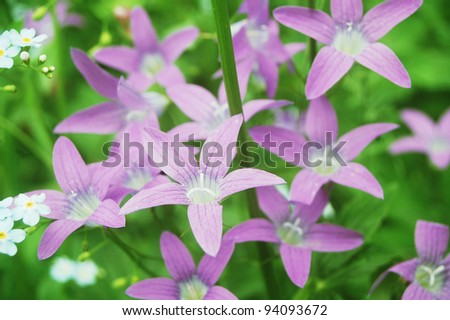 Close up of beautiful harebell flowers in a summer meadow.	 - stock photo