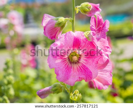 close up of beautiful Hollyhock flowers on outdoor garden - stock photo