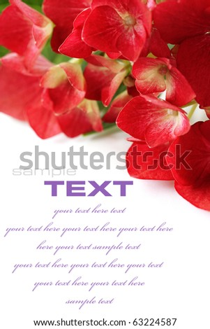 Close up of Beautiful hydrangea over white (with sample text) - stock photo
