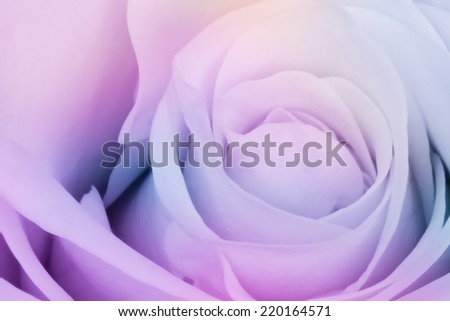 close up of beautiful multicolor rose, soft focus - stock photo