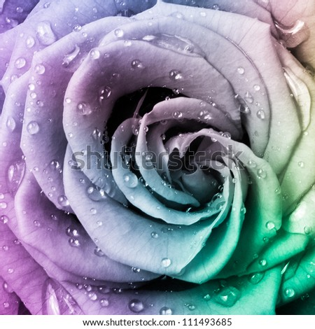 close up of beautiful multicolored rose - stock photo