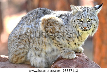 close up of beautiful north american bobcat, yellowstone national park, idaho / wyoming, united states - stock photo