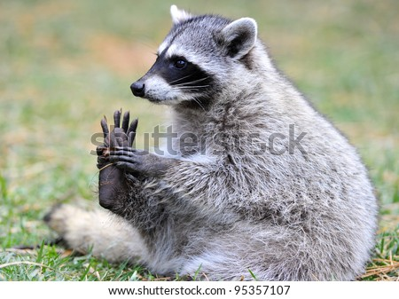 close up of beautiful north american raccoon, yellowstone national park, idaho / wyoming, united states - stock photo