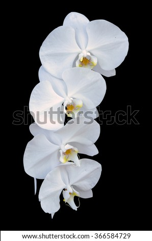Close-up of beautiful Orchid flower on black background.