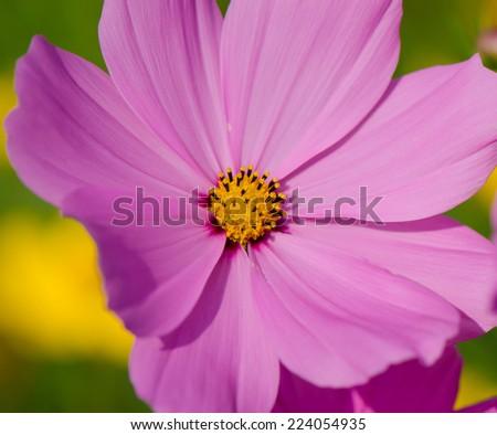 Close up of beautiful purple cosmos flower - stock photo