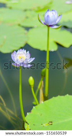 Close up of beautiful purple lotus blossom in pool
