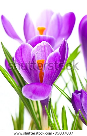 close up of beautiful spring crocus flowers over white background. selective focus - stock photo