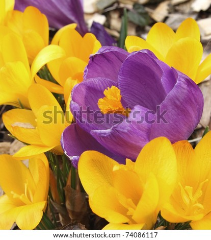 Close up of beautiful violet and yellow Saffron Crocus flowers