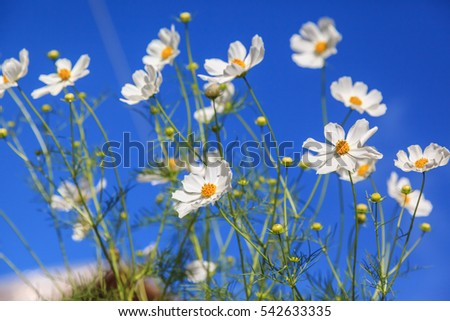 Close up of beautiful white daisy flowers against blue sky background