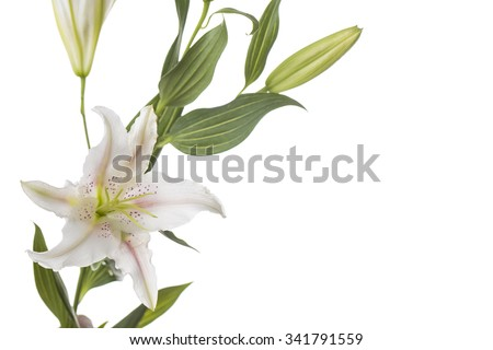 Close up of beautiful white lily flowers, isolated on white