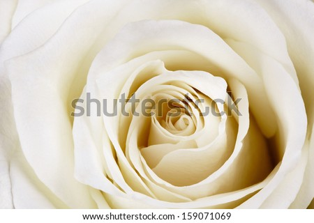 Close-up of beautiful white rose. - stock photo
