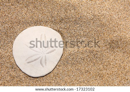 Close up of beautiful white sand dollar on the beach - stock photo