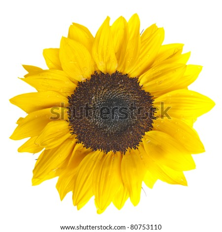 Close up of beautiful yellow Sunflower on white background - stock photo