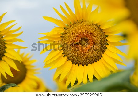 close up of beautiful yellow sunflowers in countryside field