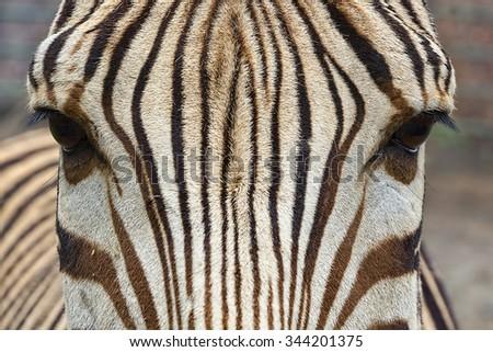 Close -up of beautiful zebra head looking. - stock photo