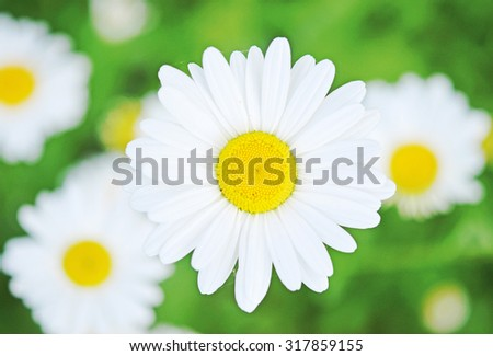 close up of beauty camomiles - stock photo