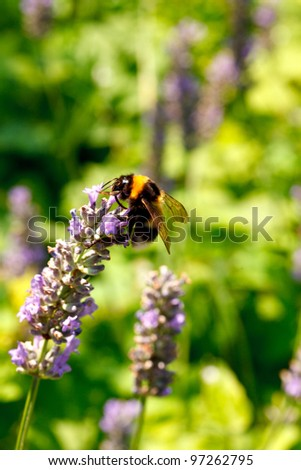 Close up of Bee on lavender in summer season - stock photo