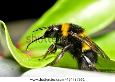 Close up of Bee with tongue out - stock photo