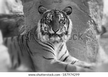 Close up of bengal tiger - stock photo