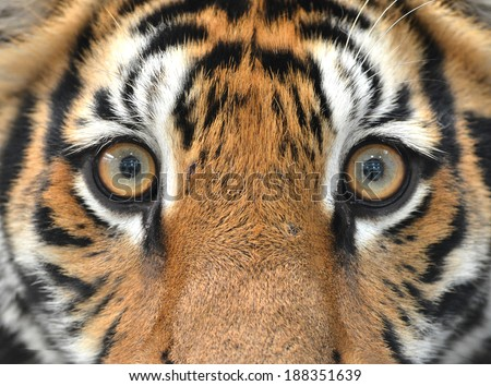 close up of bengal tiger eyes - stock photo