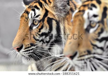 close up of bengal tiger face - stock photo