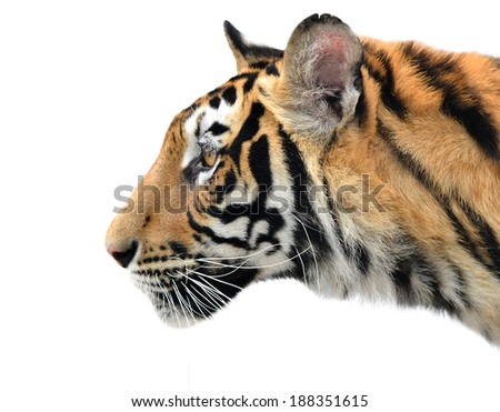 close up of bengal tiger face on white background - stock photo