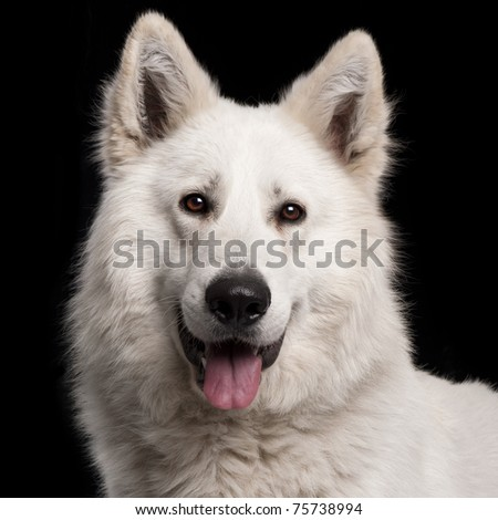 Close-up of Berger Blanc Suisse, 2 years old, in front of black background - stock photo