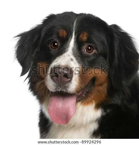 Close-up of Bernese Mountain Dog, 12 months old, panting in front of white background - stock photo