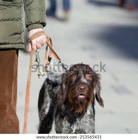 Close up of big dog on leash walking on the street - stock photo