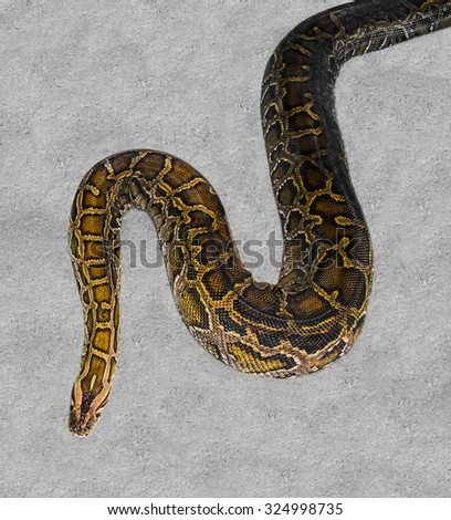 Close up of big Tiger Reticulated Python - stock photo