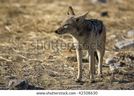 Close-up of Black-backed jackal standing in grass-field; Canis mesomelas
