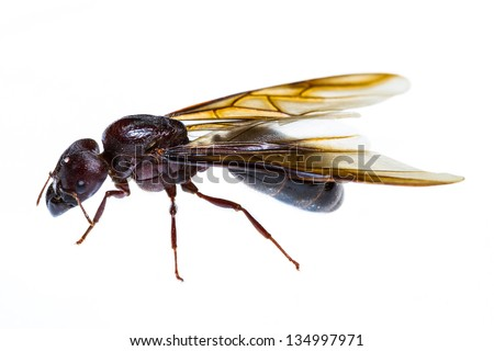 Close up of black queen ant on white background - stock photo