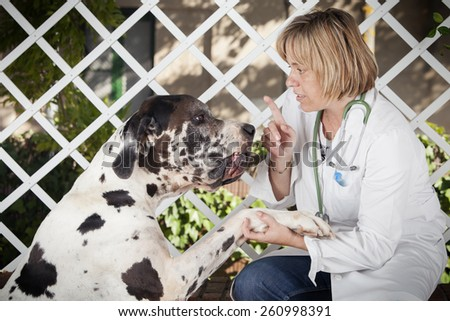 Close-up of blond female veterinarian pointing a great dane harlequin. - stock photo