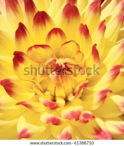 Close-up of bloom dahlia - stock photo