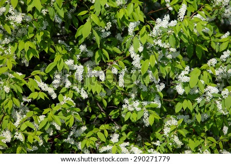close-up of blooming apple tree branch against a background of green trees on a sunny spring day